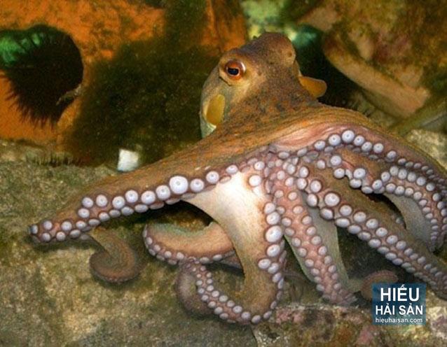 bạch tuộc sống