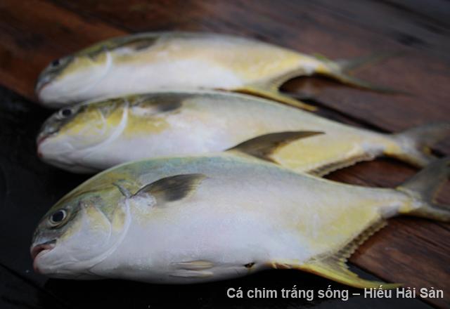 cá chim trắng sống hiếu hải sản