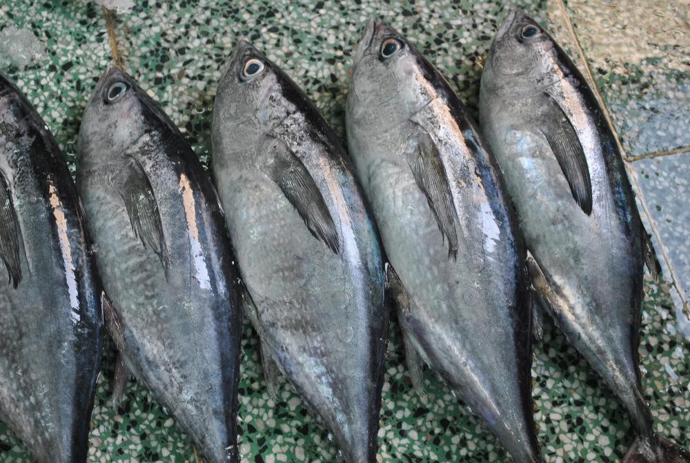 cá ngừ bò
