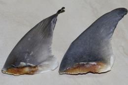 Cách nhận biết vi cá mập chính hiệu